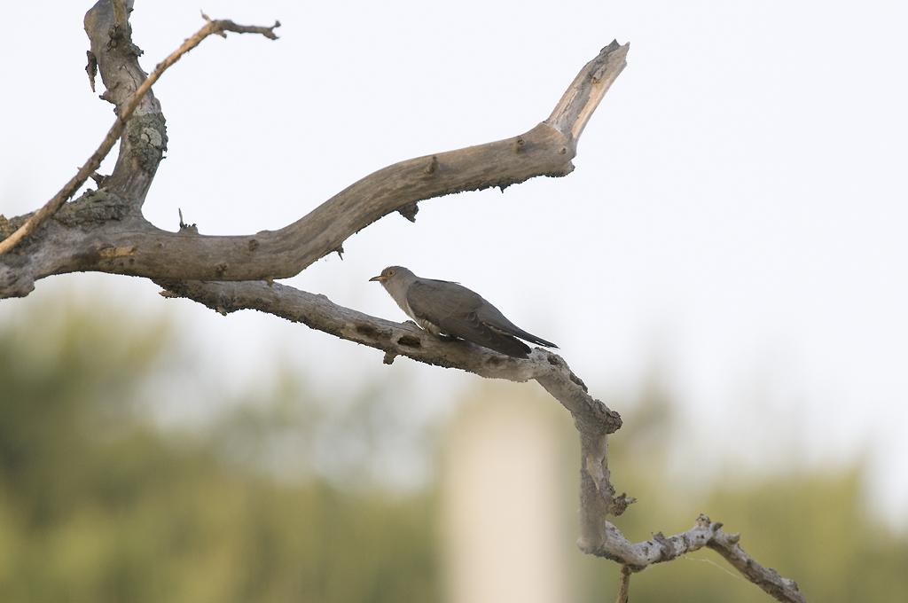 울산의새들 - 뻐꾸기