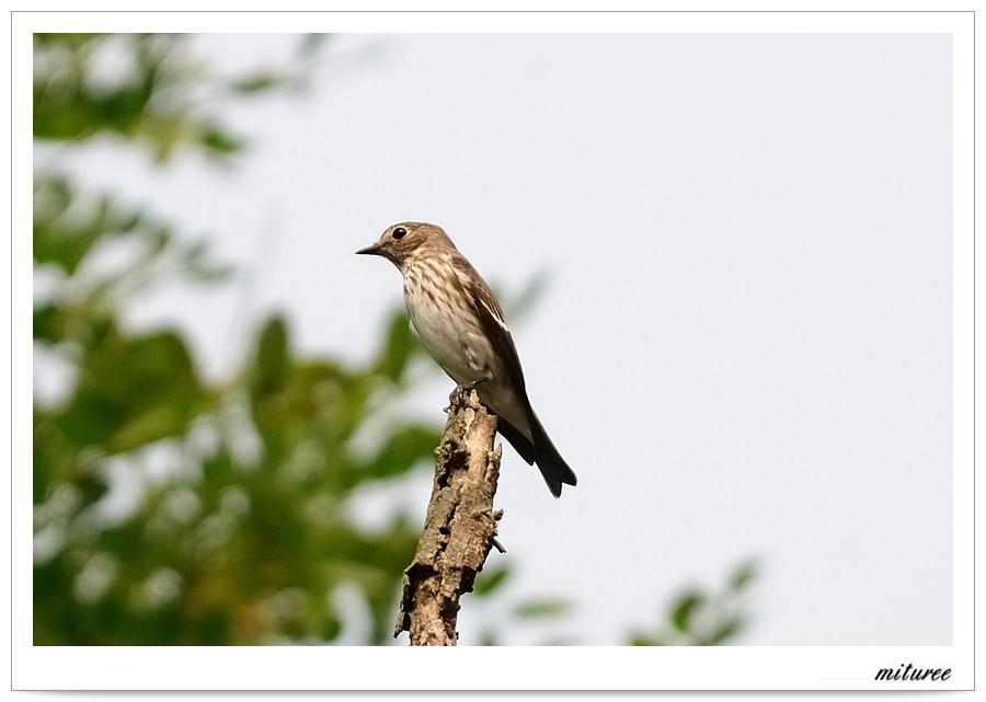 포항의 새들 - 제비딱새