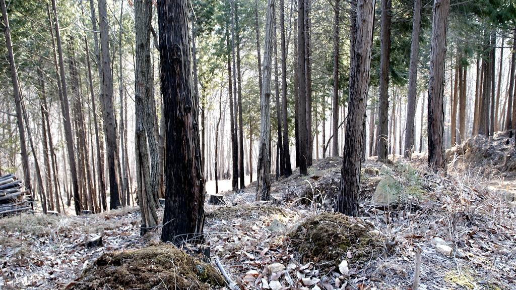 삼나무수림